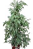 Plante d'intérieur - Plante pour la maison ou le bureau - Ficus benjamina - Figuier pleureur panaché, hauteur 80cm - PRIX RÉDUIT