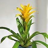 BROMELIA Guzmania Jaune 1 plant jaune