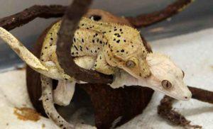 accouplement gecko à crête