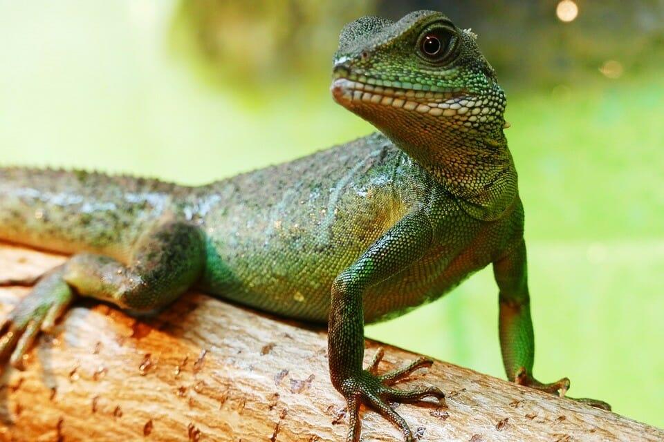 fiche dragon d'eau ( Physignathus cocincinus)