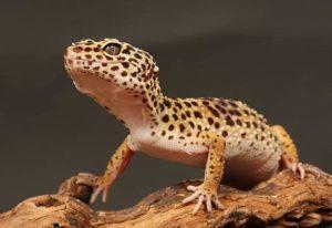 Fiche gecko léopard