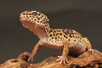 fiche gecko leopard Eublepharis macularius