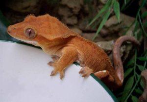 Gecko à crête Correlophus ciliatus