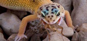 Nourriture Gecko Léopard