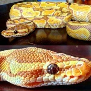 Python Regius Banana