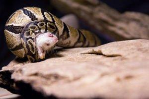 python royal mange souris