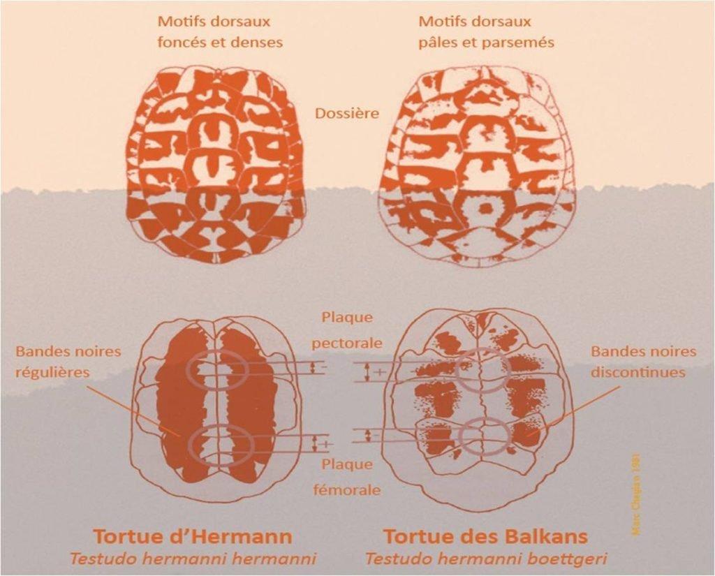 Différence entre sous espèces Boettgeri et Hermanni