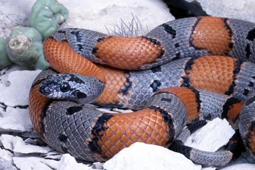 Serpent roi à bandes grises