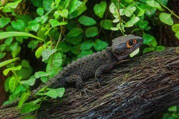 Tribolonotus Gracilis Scinque crocodile fiche
