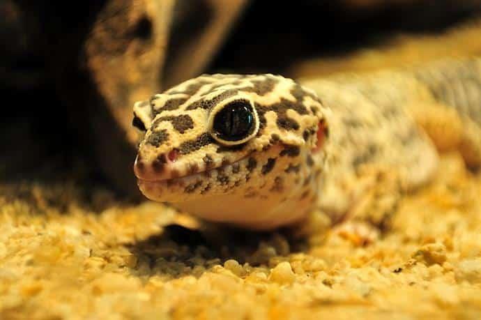 substrat gecko léopard