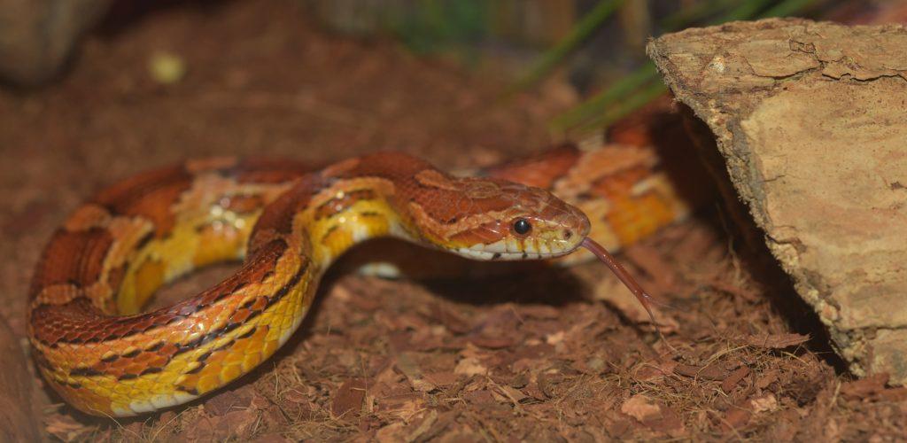 substrat serpent des blés pantherophis guttatus